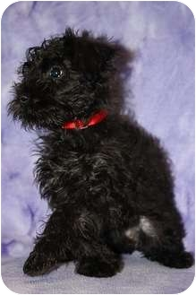 Poodle (Miniature)/Schnauzer (Standard) Mix Puppy for adoption in Broomfield, Colorado - Chiclet