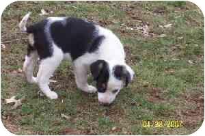 Beagle Mix Puppy for adoption in Bernardsville, New Jersey - Abbie