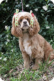 Cocker Spaniel Dog for adoption in Sugarland, Texas - Lilly