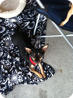 Miniature Pinscher Mix Dog for adoption in North Hollywood, California - Lassie