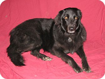 Golden Retriever/Newfoundland Mix Dog for adoption in Seattle, Washington - Catori