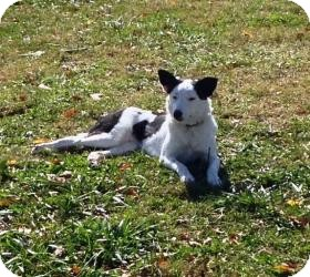 Border Collie Mix Dog for adoption in Russellville, Kentucky - Sophie