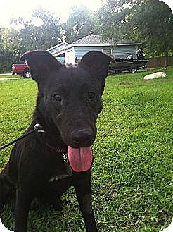 Labrador Retriever/German Shepherd Dog Mix Dog for adoption in Baton Rouge, Louisiana - Betsy