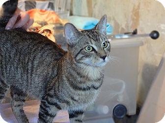 Domestic Shorthair Kitten for adoption in Brooklyn, New York - Salem