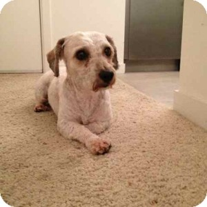 Bichon Frise/Terrier (Unknown Type, Small) Mix Dog for adoption in Los Angeles, California - WOODY