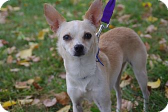 Chihuahua Mix Dog for adoption in Elyria, Ohio - Bambi