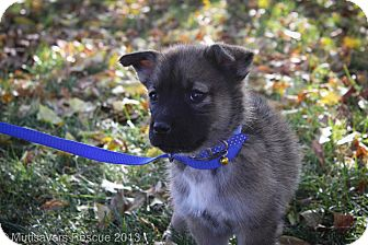 Husky Mix Puppy for adoption in Broomfield, Colorado - Walrus