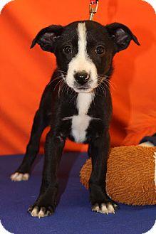 Border Collie/Australian Cattle Dog Mix Puppy for adoption in Broomfield, Colorado - Decker