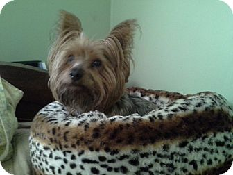 Yorkie, Yorkshire Terrier Dog for adoption in Hagerstown, Maryland - Buster