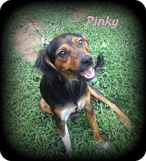 Miniature Pinscher/Terrier (Unknown Type, Small) Mix Dog for adoption in Denver, North Carolina - Pinky