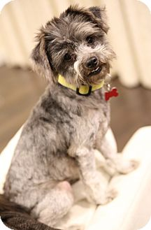 Terrier (Unknown Type, Small)/Poodle (Miniature) Mix Dog for adoption in Encino, California - Missy