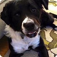 Adopt A Pet :: Krista - Pawling, NY