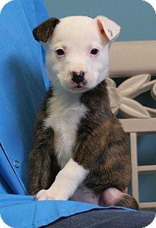 Terrier (Unknown Type, Medium)/Labrador Retriever Mix Puppy for adoption in Staunton, Virginia - Chilly