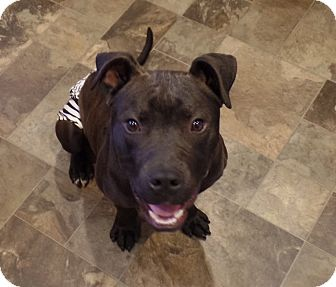 Pit Bull Terrier Mix Dog for adoption in Toledo, Ohio - JoJo