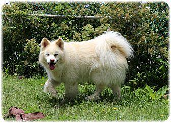 Husky Mix Dog for adoption in Welland, Ontario - Akino