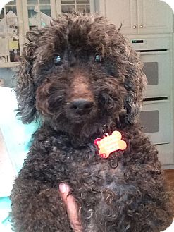 Poodle (Miniature) Mix Dog for adoption in Richmond, Virginia - Jake