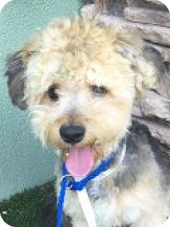 Poodle (Miniature) Mix Dog for adoption in Las Vegas, Nevada - Justin