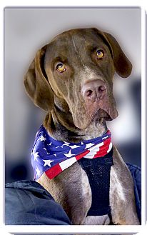 Vizsla/German Shorthaired Pointer Mix Dog for adoption in Sacramento, California - Max pending