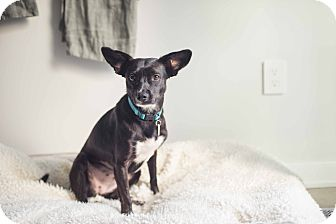 Border Collie/Italian Greyhound Mix Dog for adoption in Los Angeles, California - Heddie is Magical