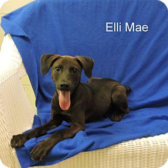 Labrador Retriever Mix Puppy for adoption in Slidell, Louisiana - Elli Mae