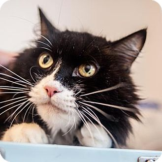 Domestic Mediumhair Cat for adoption in Denver, Colorado - Crowe