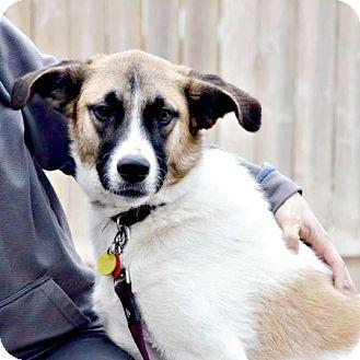Terrier (Unknown Type, Medium)/St. Bernard Mix Dog for adoption in Edmonton, Alberta - Dean