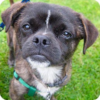 Pug Mix Dog for adoption in Gig Harbor, Washington - Chavez - Adoption Pending