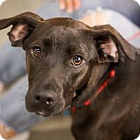 Adopt A Pet :: Vincent - Minneapolis, MN