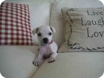 Chihuahua/Boston Terrier Mix Puppy for adoption in Marlton, New Jersey - Harper