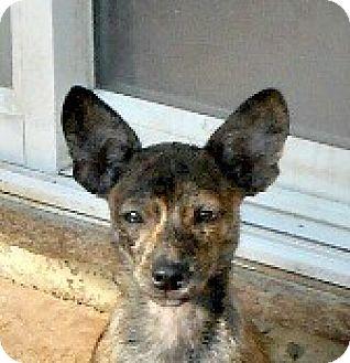 Basenji/Chihuahua Mix Puppy for adoption in Oakley, California - Rio