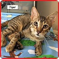 Adopt A Pet :: Tiger - Miami, FL