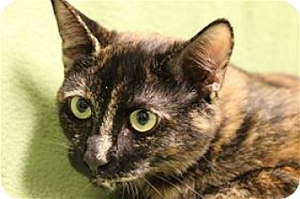 Domestic Shorthair Cat for adoption in Lincoln, California - Blossom