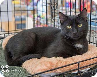 Domestic Shorthair Kitten for adoption in Merrifield, Virginia - Starbuck