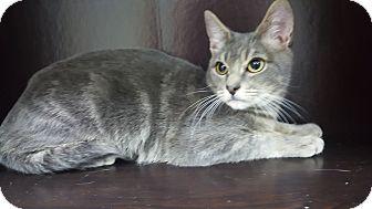Russian Blue Kitten for adoption in Albemarle, North Carolina - John F Kennedy