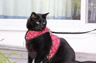 Domestic Shorthair Cat for adoption in Manchester, Connecticut - Max
