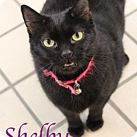 Domestic Shorthair Cat for adoption in Bradenton, Florida - Shelby