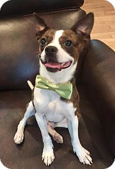 Boston Terrier/Chihuahua Mix Puppy for adoption in west berlin, New Jersey - Theodore