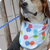 Beagle Dog for adoption in Brighton, Tennessee - Bobbi Jo (Fostered in TN)
