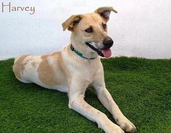 Labrador Retriever/Akita Mix Dog for adoption in San Diego, California - Harvey