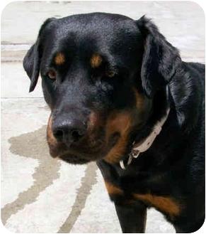 Rottweiler Dog for adoption in El Segundo, California - Leyla
