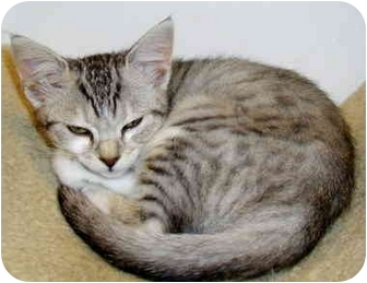 Domestic Shorthair Kitten for adoption in San Diego, California - Feathertail