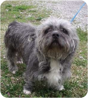 Cairn Terrier/Lhasa Apso Mix Dog for adoption in Staunton, Virginia - Kali