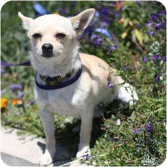Chihuahua Dog for adoption in Berkeley, California - Smalls