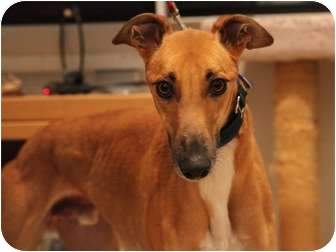 Greyhound Dog for adoption in Walnut Creek, California - RALLY