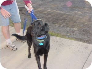 Labrador Retriever/Flat-Coated Retriever Mix Dog for adoption in Warren, Michigan - Sweet Lucy