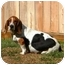 Photo 1 - Basset Hound Dog for adoption in Houston, Texas - Brigit