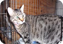 Bengal Cat for adoption in Loudonville, New York - Neelix