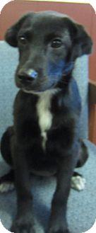 Labrador Retriever Mix Puppy for adoption in Detroit, Michigan - Stella