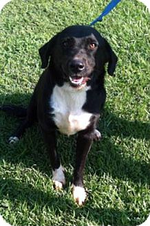 Labrador Retriever Mix Dog for adoption in Nashville, Tennessee - Shelly