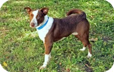 Chesapeake Bay Retriever/Chesapeake Bay Retriever Mix Dog for adoption in Plainfield, Illinois - Reno